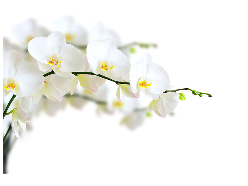 Canvas print White Orchids